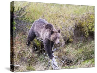 USA, Wyoming, Yellowstone National Park, Grizzly Bear Crossing Log-Elizabeth Boehm-Stretched Canvas Print