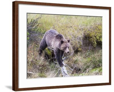 USA, Wyoming, Yellowstone National Park, Grizzly Bear Crossing Log-Elizabeth Boehm-Framed Photographic Print