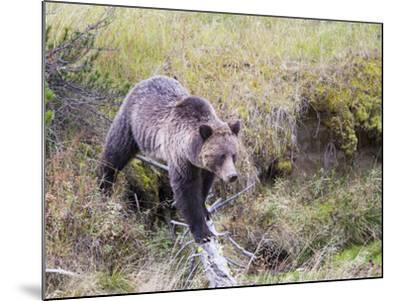 USA, Wyoming, Yellowstone National Park, Grizzly Bear Crossing Log-Elizabeth Boehm-Mounted Photographic Print