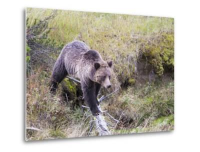 USA, Wyoming, Yellowstone National Park, Grizzly Bear Crossing Log-Elizabeth Boehm-Metal Print
