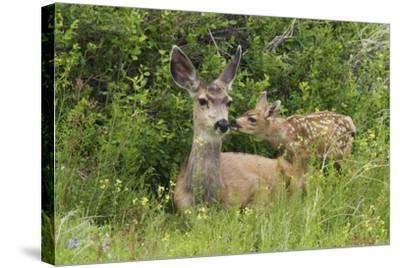 Mule Deer Doe with Fawn-Ken Archer-Stretched Canvas Print