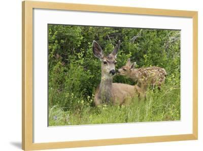 Mule Deer Doe with Fawn-Ken Archer-Framed Photographic Print