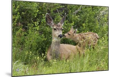 Mule Deer Doe with Fawn-Ken Archer-Mounted Photographic Print