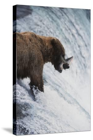 Alaska, Brown Bears Feeding on Sockeye Salmon in Katmai National Park-Stuart Westmorland-Stretched Canvas Print