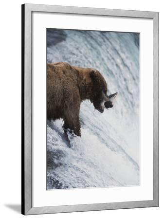 Alaska, Brown Bears Feeding on Sockeye Salmon in Katmai National Park-Stuart Westmorland-Framed Photographic Print