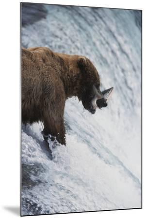 Alaska, Brown Bears Feeding on Sockeye Salmon in Katmai National Park-Stuart Westmorland-Mounted Photographic Print