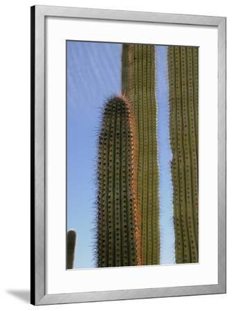 Arizona, Organ Pipe Cactus Nm. Organ Pipe Cactus Back Lit Close Up-Kevin Oke-Framed Photographic Print