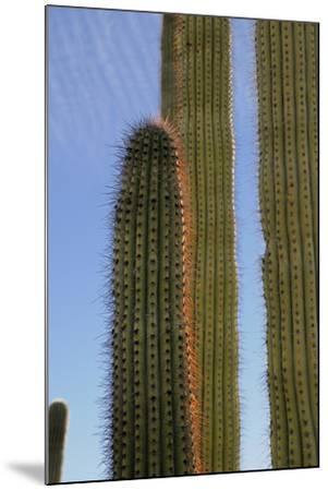 Arizona, Organ Pipe Cactus Nm. Organ Pipe Cactus Back Lit Close Up-Kevin Oke-Mounted Photographic Print