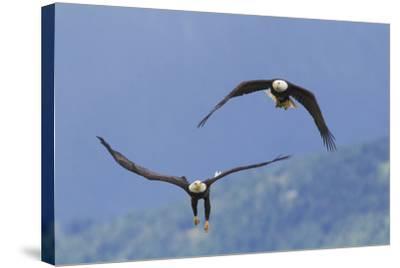Bald Eagle Pair, Courtship-Ken Archer-Stretched Canvas Print