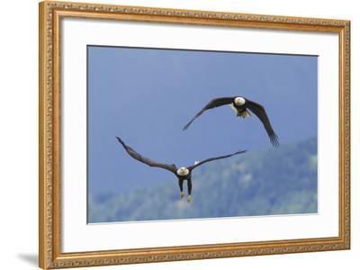 Bald Eagle Pair, Courtship-Ken Archer-Framed Photographic Print