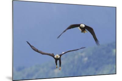 Bald Eagle Pair, Courtship-Ken Archer-Mounted Photographic Print