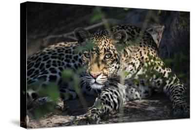 Leopard Face Peeking Out of Bush Close Up-Sheila Haddad-Stretched Canvas Print