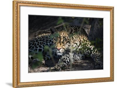 Leopard Face Peeking Out of Bush Close Up-Sheila Haddad-Framed Photographic Print