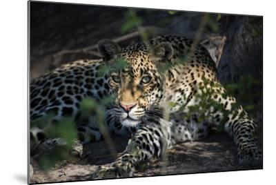 Leopard Face Peeking Out of Bush Close Up-Sheila Haddad-Mounted Photographic Print