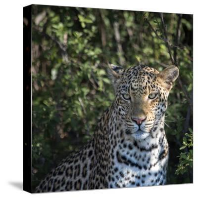 Leopard Portrait, Close Up-Sheila Haddad-Stretched Canvas Print