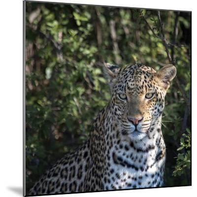 Leopard Portrait, Close Up-Sheila Haddad-Mounted Photographic Print