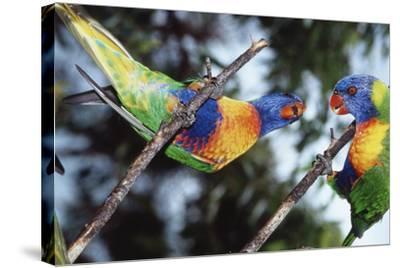 Australia, Eastern States of Australia, Close Up of Rainbow Lorikeets-Peter Skinner-Stretched Canvas Print