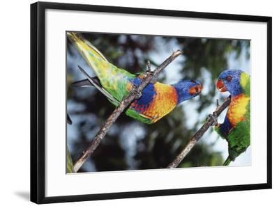 Australia, Eastern States of Australia, Close Up of Rainbow Lorikeets-Peter Skinner-Framed Photographic Print