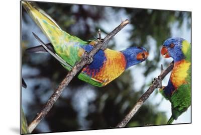 Australia, Eastern States of Australia, Close Up of Rainbow Lorikeets-Peter Skinner-Mounted Photographic Print