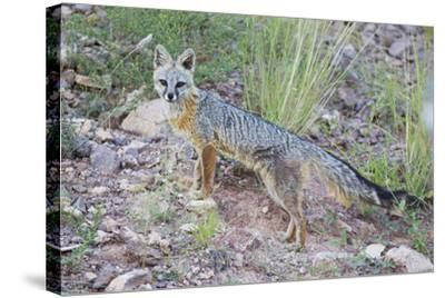 Jeff Davis County, Texas. Gray Fox Standing in Grass-Larry Ditto-Stretched Canvas Print