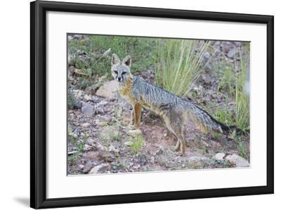Jeff Davis County, Texas. Gray Fox Standing in Grass-Larry Ditto-Framed Photographic Print