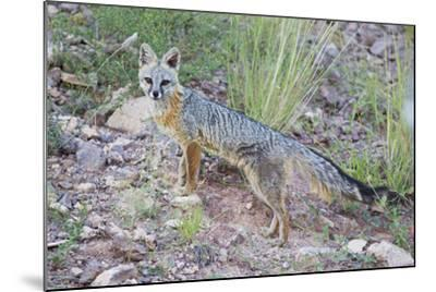 Jeff Davis County, Texas. Gray Fox Standing in Grass-Larry Ditto-Mounted Photographic Print