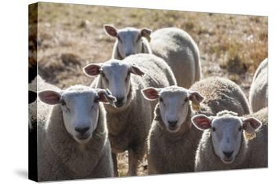 Australia, Victoria, Yarra Valley, Sheep Farm-Walter Bibikow-Stretched Canvas Print