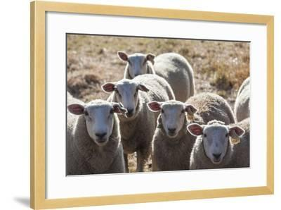 Australia, Victoria, Yarra Valley, Sheep Farm-Walter Bibikow-Framed Photographic Print
