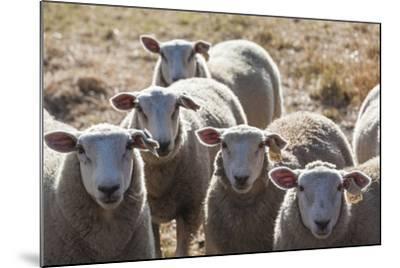 Australia, Victoria, Yarra Valley, Sheep Farm-Walter Bibikow-Mounted Photographic Print