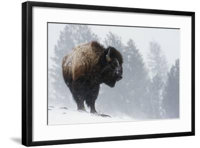 Bison Bull, Winter Storm-Ken Archer-Framed Photographic Print