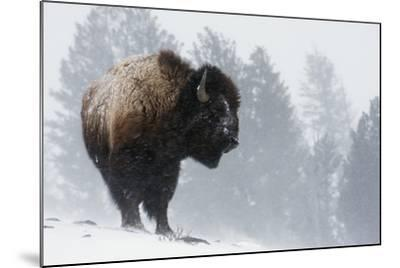 Bison Bull, Winter Storm-Ken Archer-Mounted Photographic Print