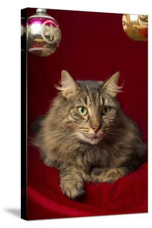 Maine Coon for Christmas with Collector Ornaments-Maresa Pryor-Stretched Canvas Print