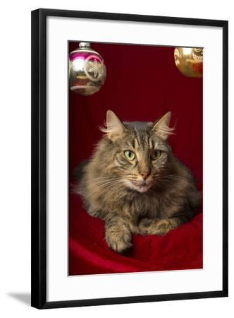 Maine Coon for Christmas with Collector Ornaments-Maresa Pryor-Framed Photographic Print