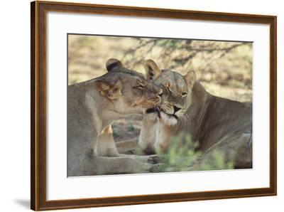 South Africa, Kalahari Gemsbok National Park, Kgalagadi Park, Pride of Lions-Paul Souders-Framed Photographic Print