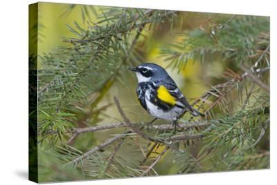 Minnesota, Mendota Heights, Yellow Rumped Warbler Perched on Branch-Bernard Friel-Stretched Canvas Print