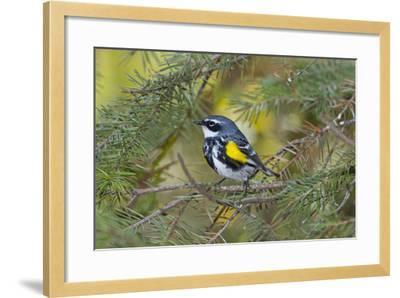Minnesota, Mendota Heights, Yellow Rumped Warbler Perched on Branch-Bernard Friel-Framed Photographic Print