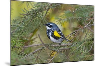 Minnesota, Mendota Heights, Yellow Rumped Warbler Perched on Branch-Bernard Friel-Mounted Photographic Print