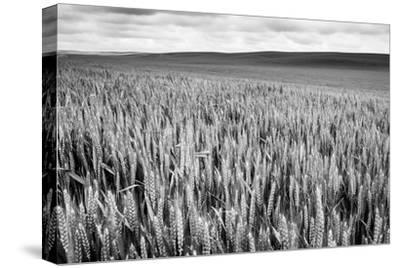 Palouse Wheat Field, Washington-James White-Stretched Canvas Print