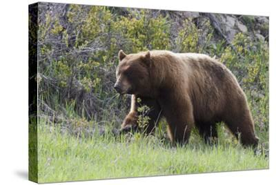 Black Bear Boar, Brown Color Phase, Blue Eyes-Ken Archer-Stretched Canvas Print