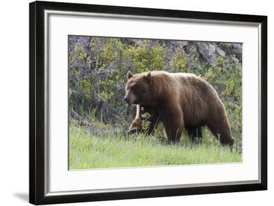 Black Bear Boar, Brown Color Phase, Blue Eyes-Ken Archer-Framed Photographic Print