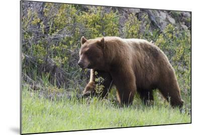 Black Bear Boar, Brown Color Phase, Blue Eyes-Ken Archer-Mounted Photographic Print