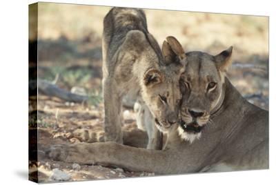 South Africa, Kalahari Gemsbok National Park, Kgalagadi Park, Pride of Lions-Paul Souders-Stretched Canvas Print
