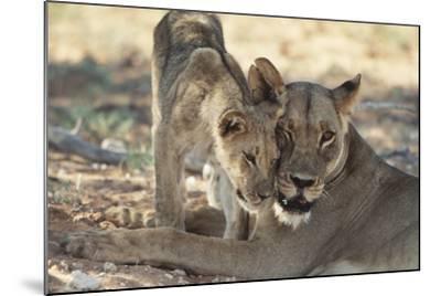South Africa, Kalahari Gemsbok National Park, Kgalagadi Park, Pride of Lions-Paul Souders-Mounted Photographic Print