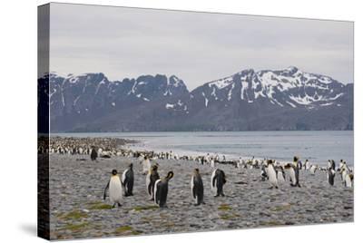 South Georgia. Salisbury Plain. King Penguins, Aptenodytes Patagonicus-Inger Hogstrom-Stretched Canvas Print