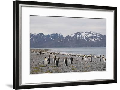 South Georgia. Salisbury Plain. King Penguins, Aptenodytes Patagonicus-Inger Hogstrom-Framed Photographic Print