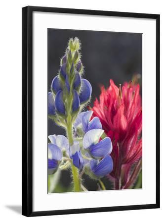 Silvery Lupine, Lavender Paintbrush-Ken Archer-Framed Photographic Print