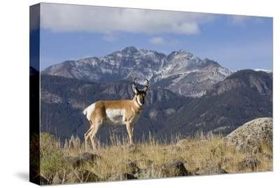 Pronghorn Antelope Buck, Electric Peak-Ken Archer-Stretched Canvas Print