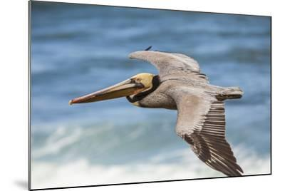Brown Pelican Soaring. La Jolla Cove, San Diego-Michael Qualls-Mounted Photographic Print