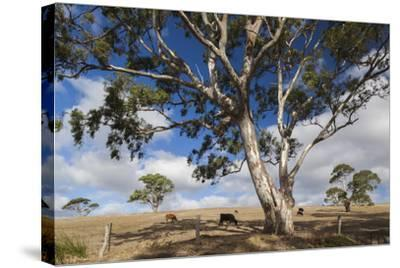 Australia, Fleurieu Peninsula, Normanville, Field with Cows-Walter Bibikow-Stretched Canvas Print