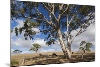 Australia, Fleurieu Peninsula, Normanville, Field with Cows-Walter Bibikow-Mounted Photographic Print